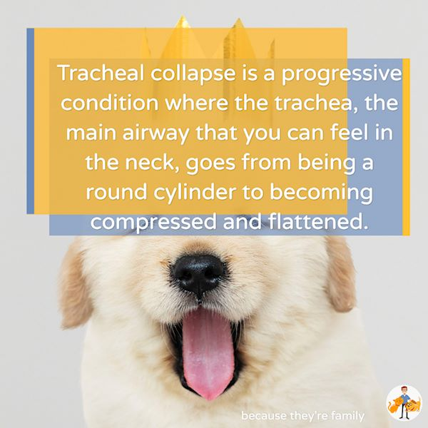 tracheal collapse in dogs is a progressive condition where the trachea or windpipe becomes compressed and flattened