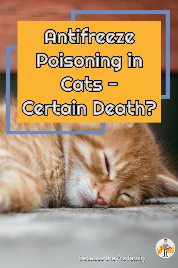 antifreeze poisoning in cats - certain death?