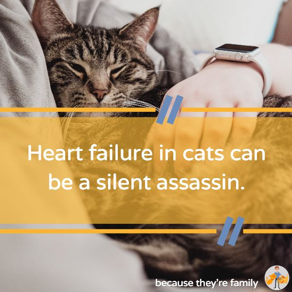 heart failure in cats can be really difficult to pick up and is a common cause of sudden death