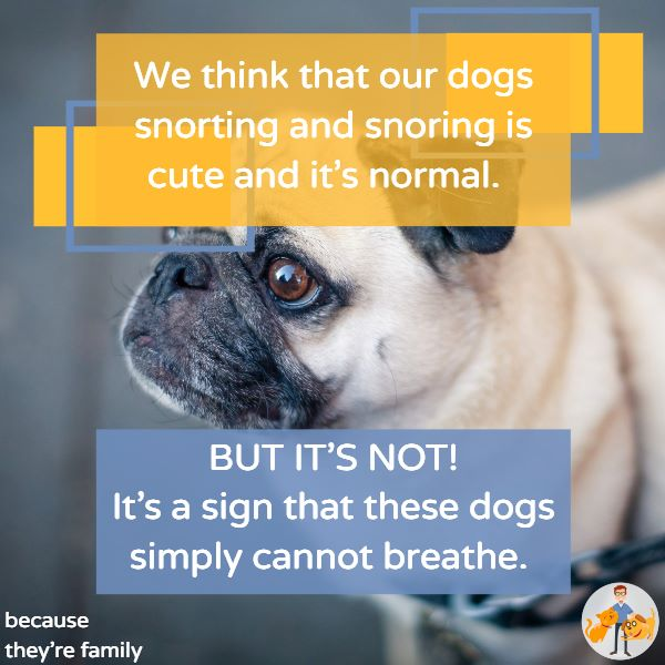 a snoring, snorting fa=lat nosed dog is not cute - they can't breathe properly