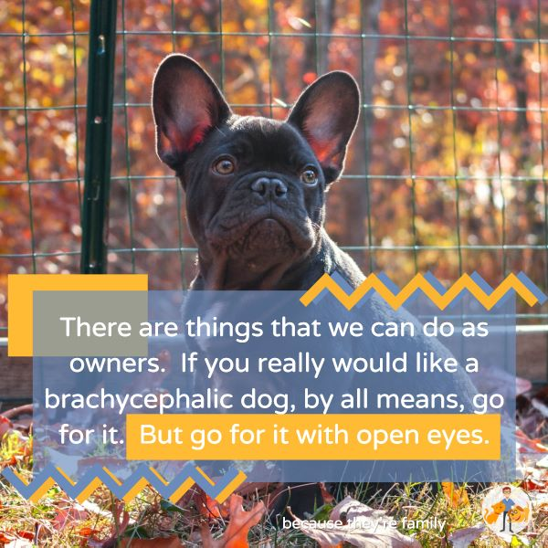 if you want a brachycephalic, flat-nosed dog then know what you are getting into