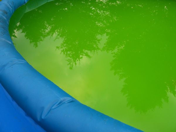 blue green algae can even affect swimming and paddling pools