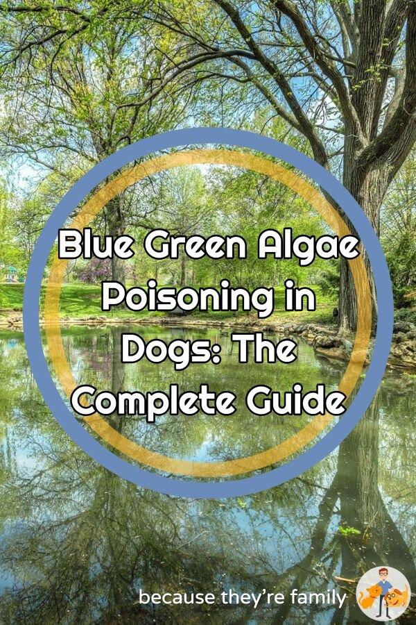 Dog blue green algae poisoning  guide
