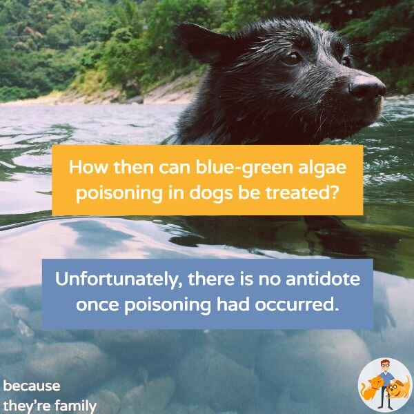 once poisoned, unfortunately there is no specific treatment for blue green algae toxicity in dogs