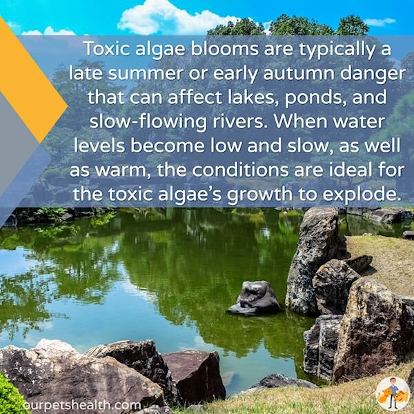 blue green algae blooms are most common in late summer and early autumn