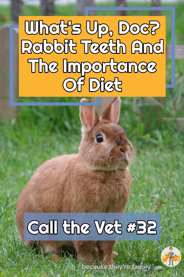 call the vet podcast episode 32 - rabbit dental disease and the best diet