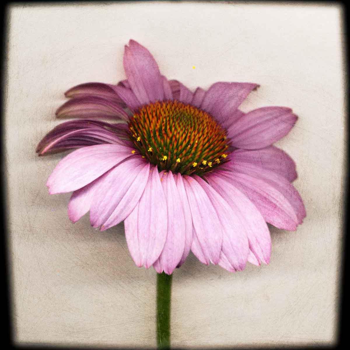 purple-coneflower.jpg