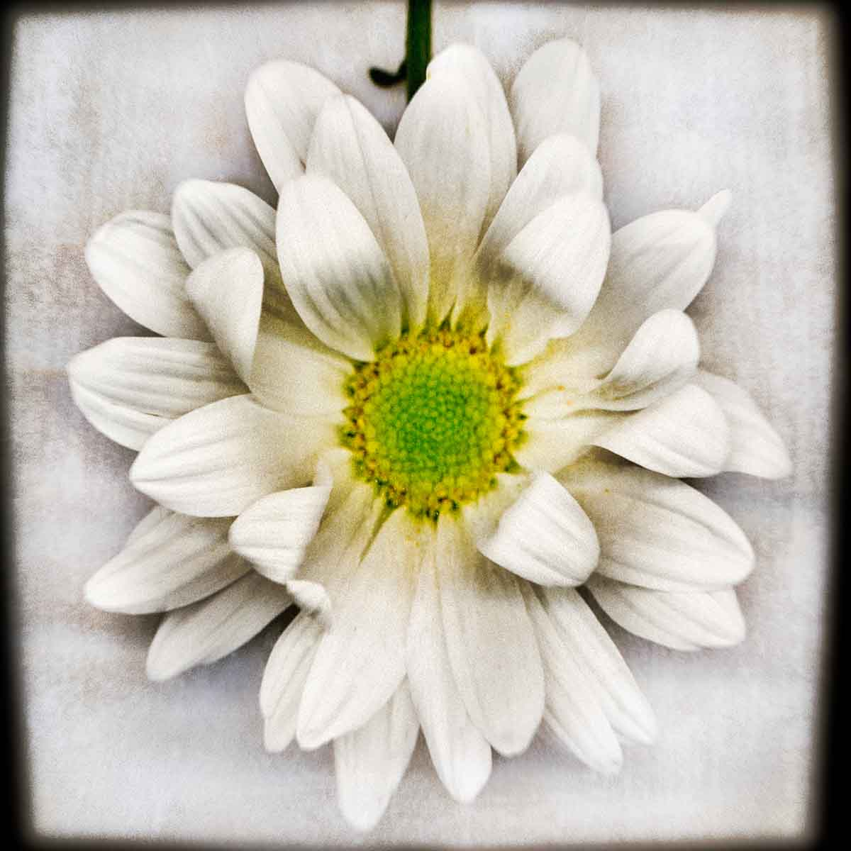 white-daisy.jpg