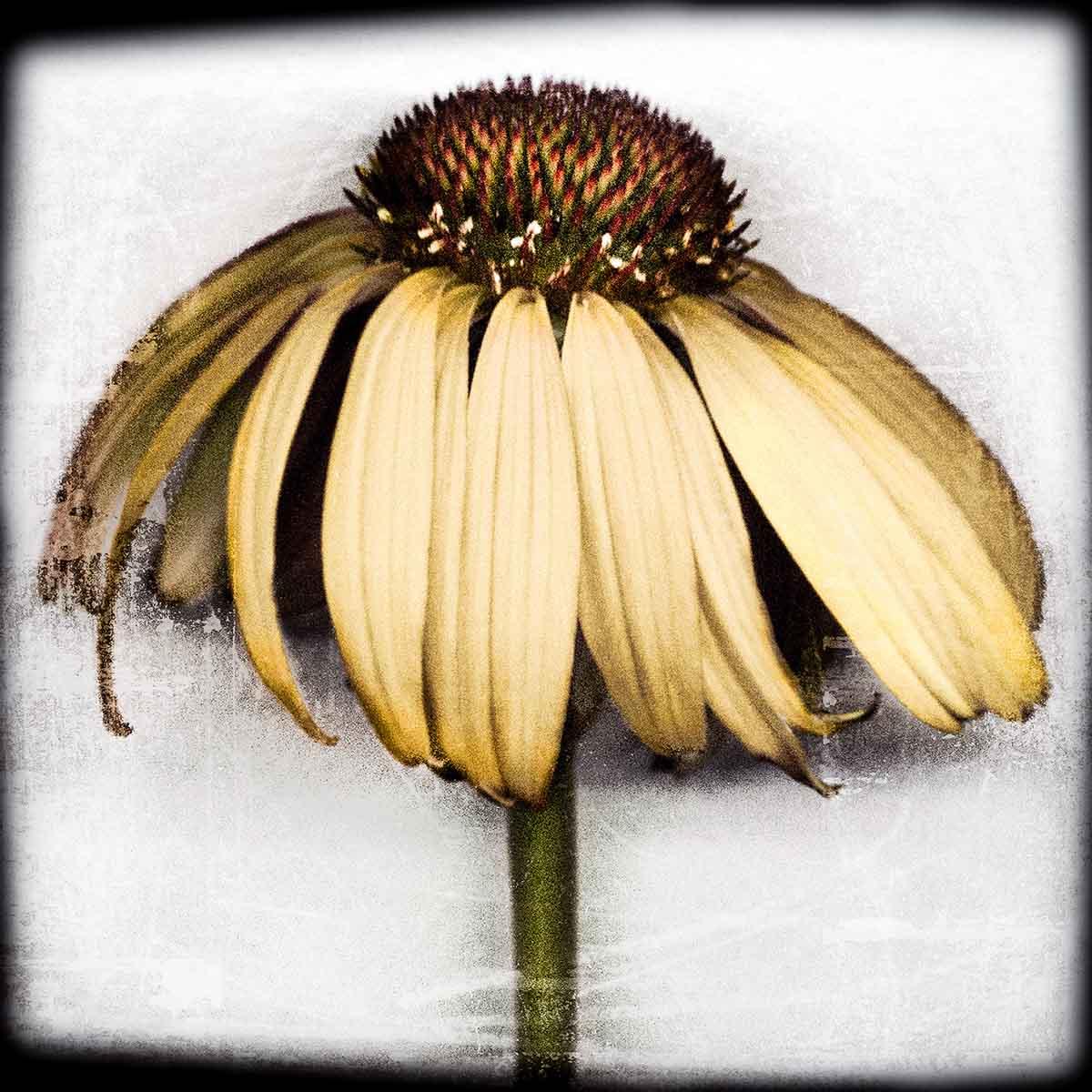 yellow-coneflower.jpg