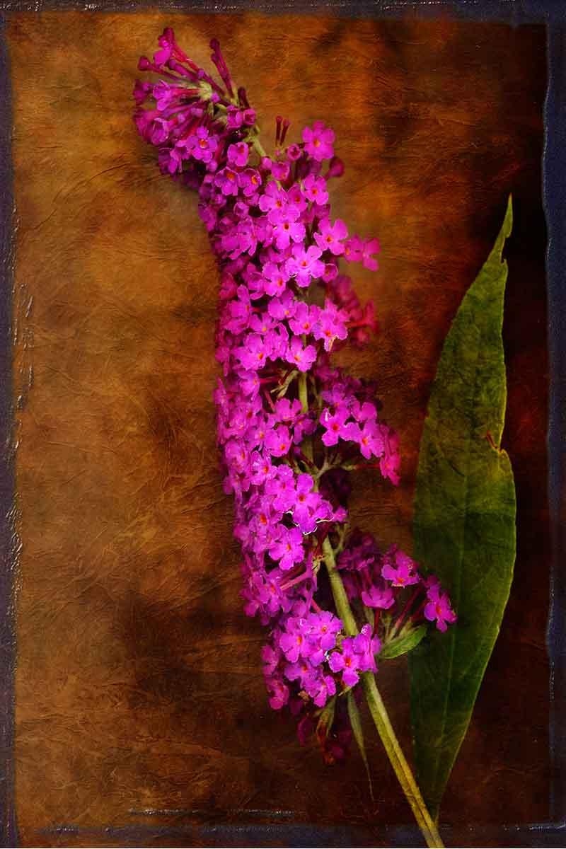 butterfly-bush.jpg
