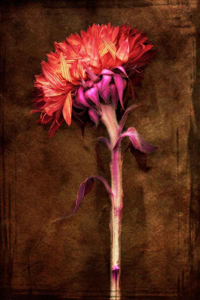 ca-sunflower.jpg