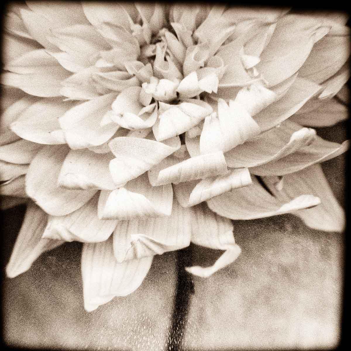 white-dahlia-#1.jpg