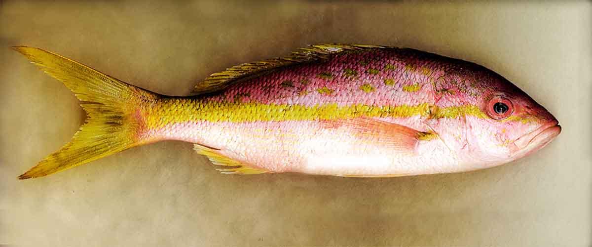 yellowtail.jpg
