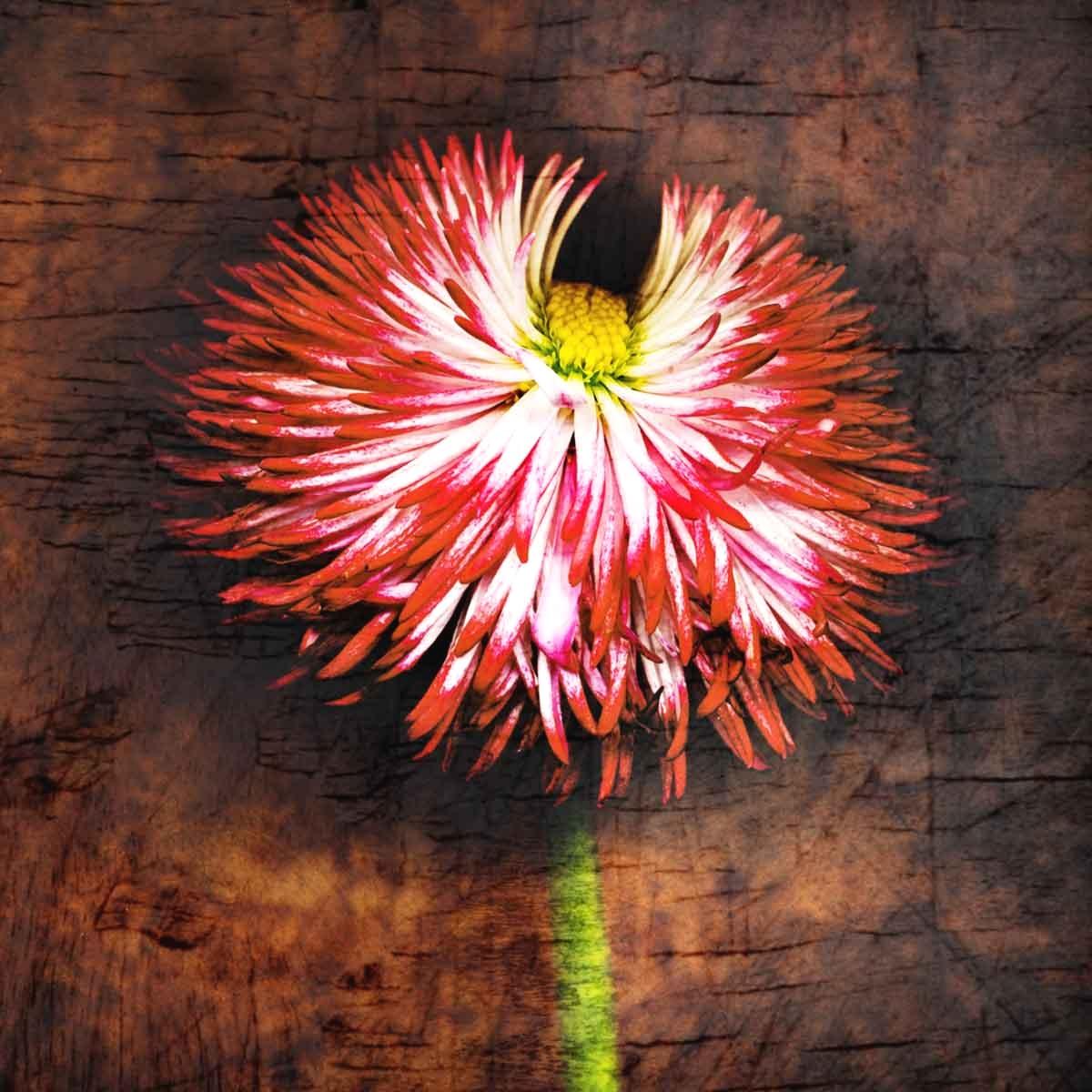 english-daisy.jpg