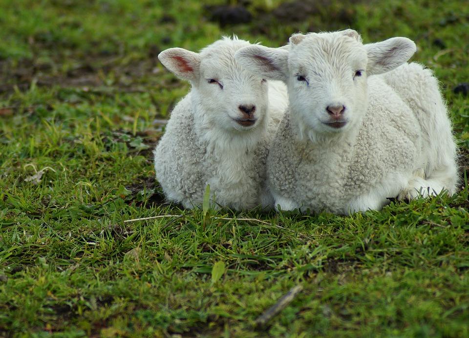 lamb-4129472_960_720.jpg