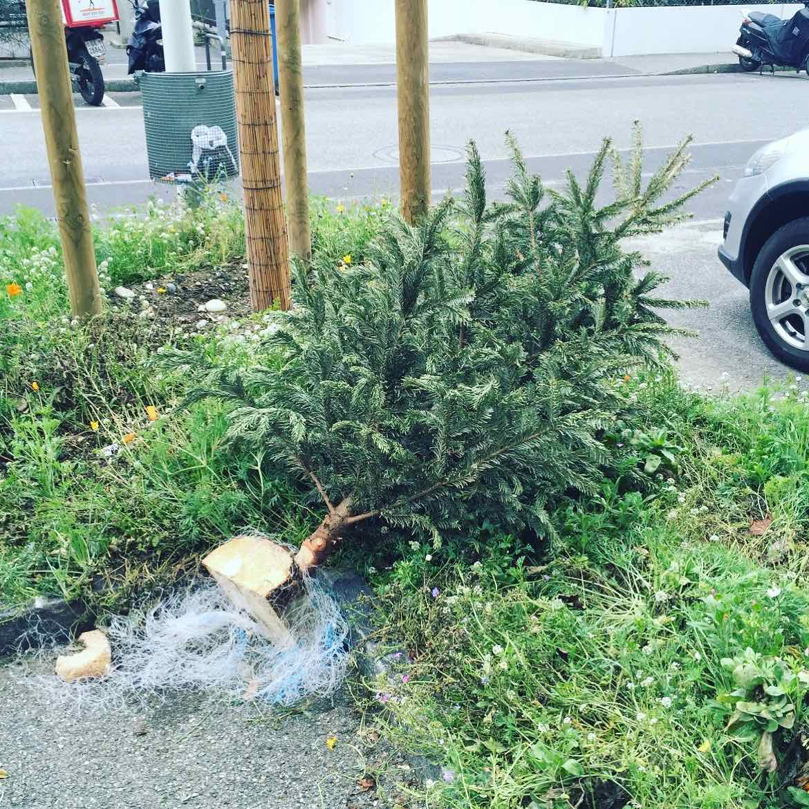 The owner of this xmas tree probably thought it would be nice to leave him close to a nature surrounding. The xmas tree was so sad to be left alone that he hugged the grass desperately to feel less lonely but fainted by asphyxiation.