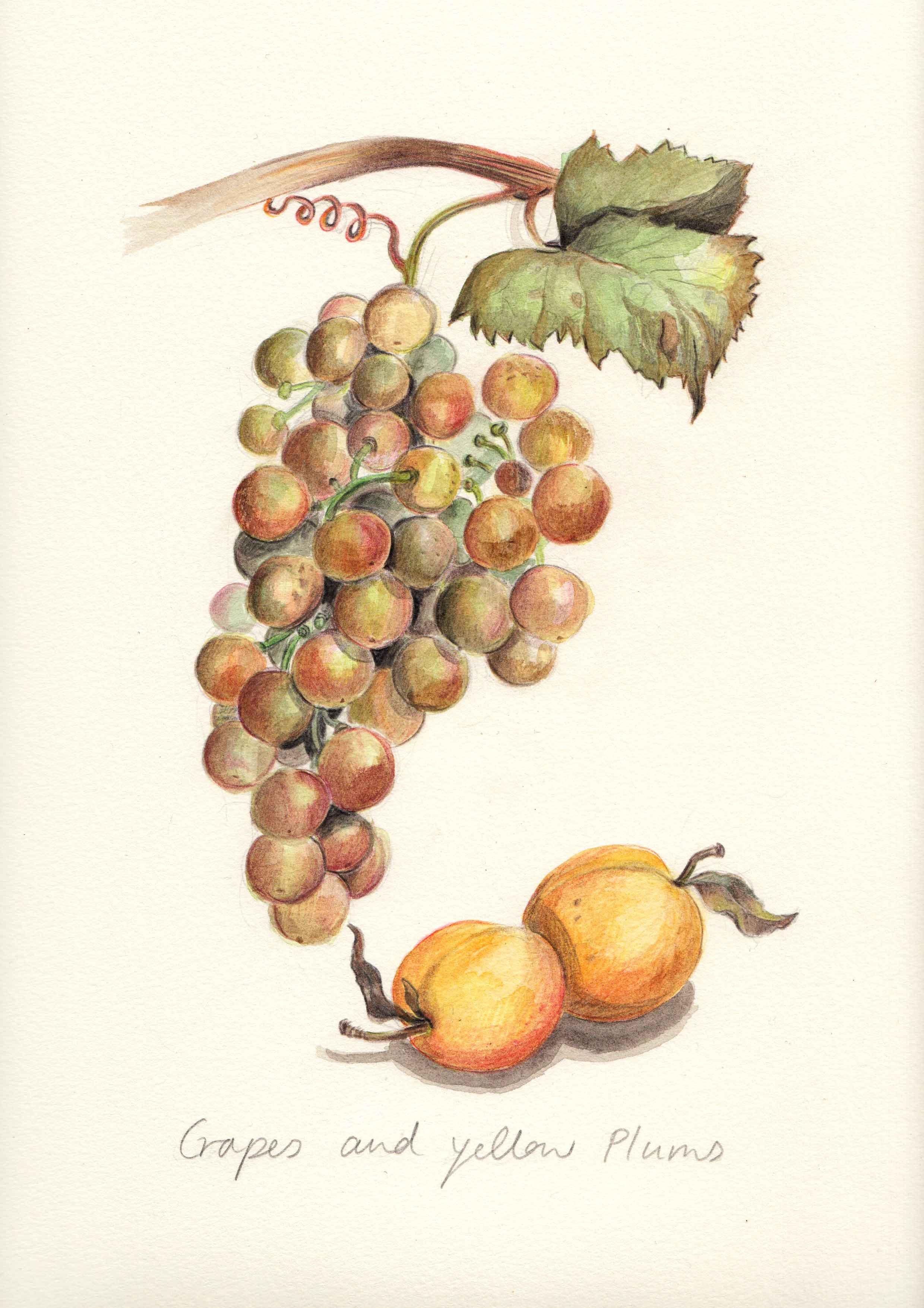 Sq_Grapes.jpg