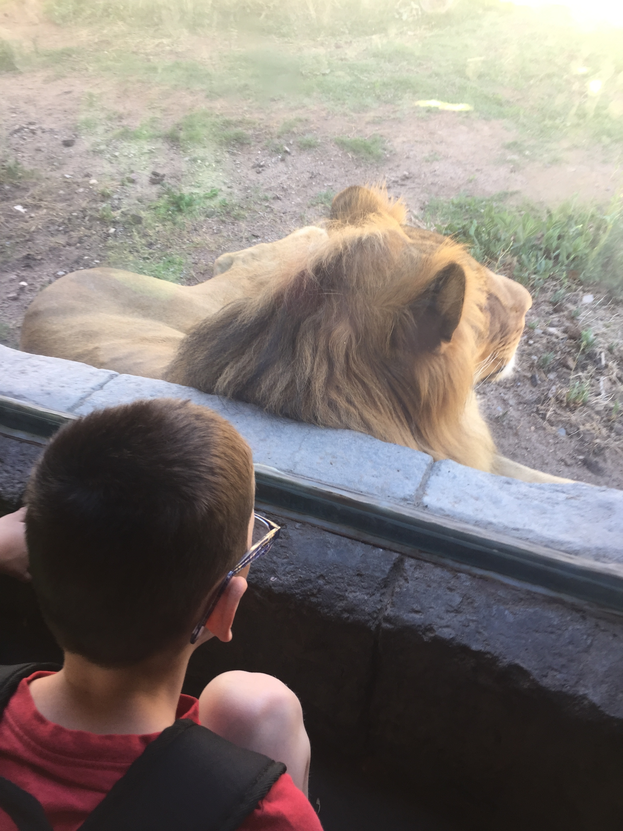 LION! Up close and personal!