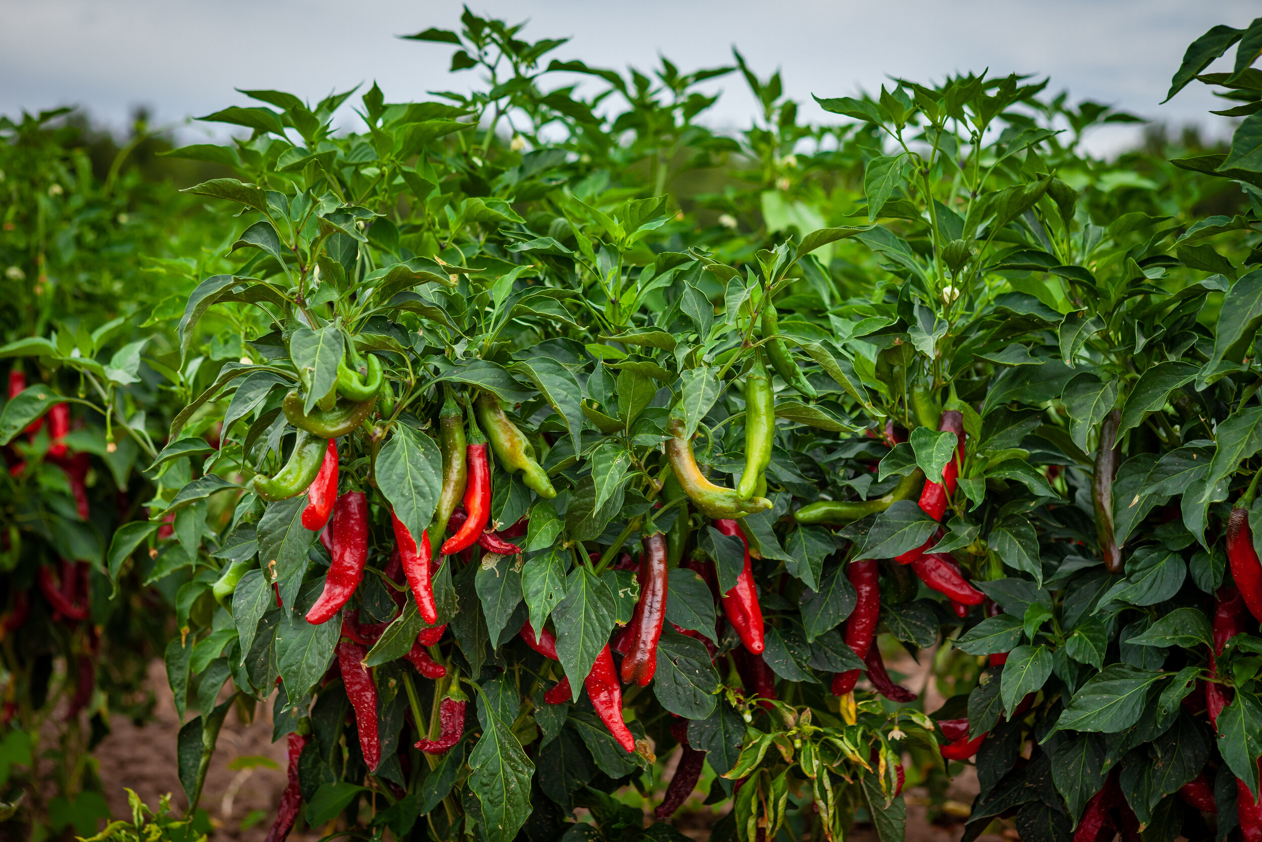 Peppers - Grown The Way Nature Intended