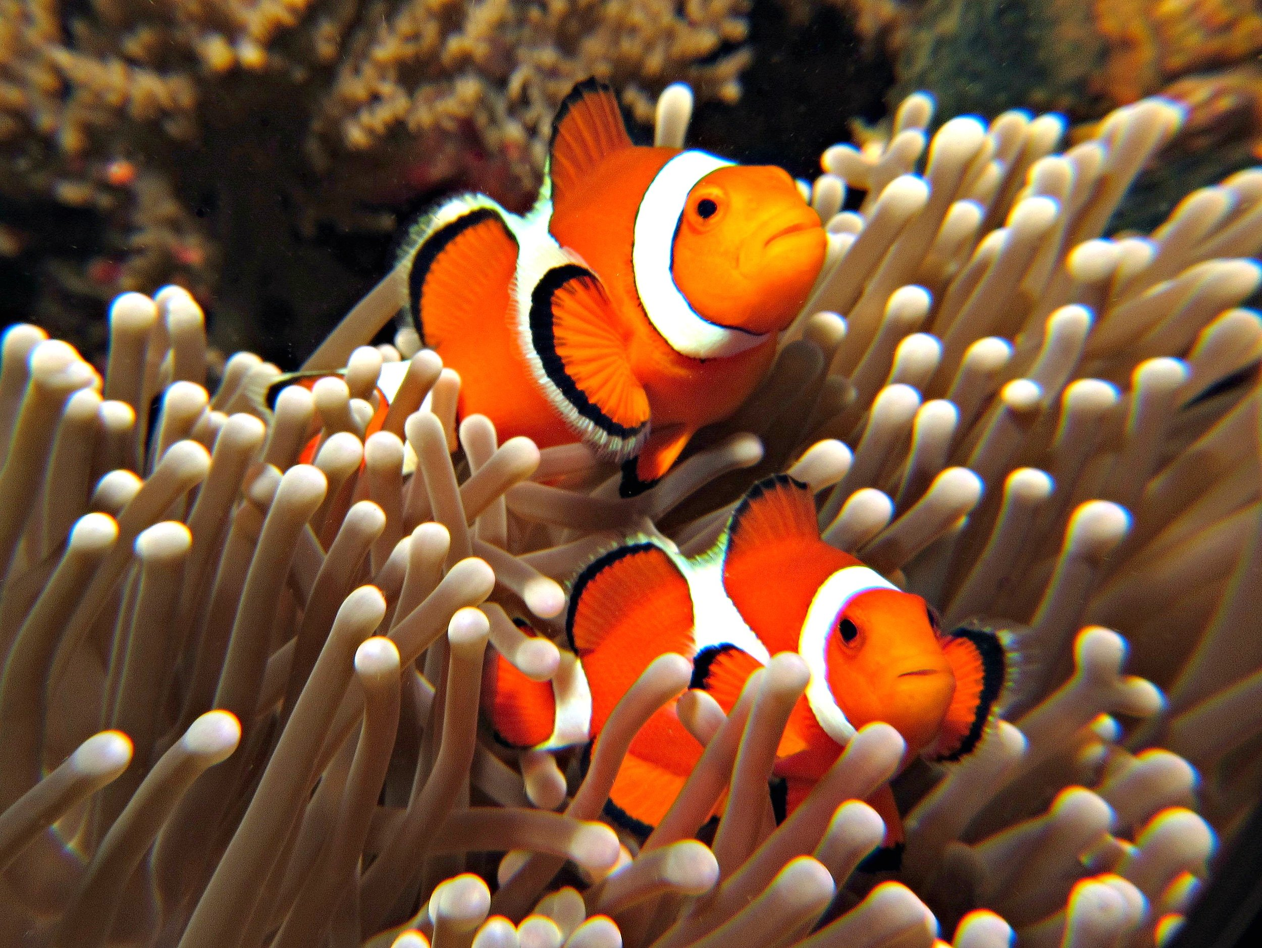 Clown fish are one of the many species of fishes that are able to change their sexual anatomy. The egoic conceptual mind likes to categorizes things into tidy boxes, but Life loves diversity and is far too fluid and nuanced for the egoic mind to understand this reality.