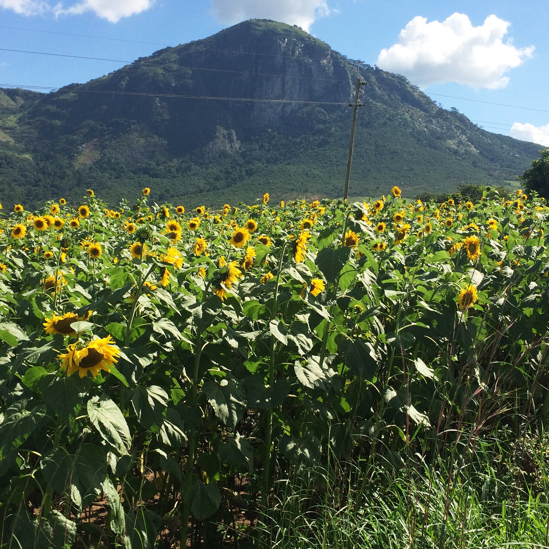 A member's sunflower farm in Gairo