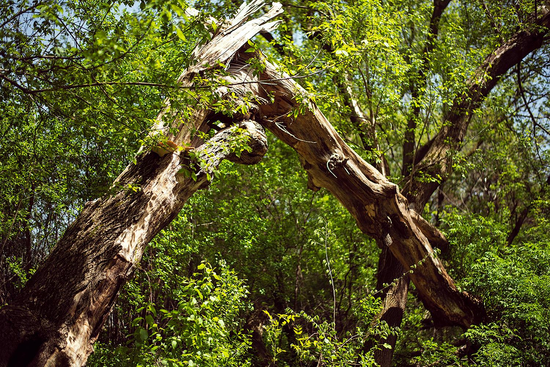 Fallen tree archway