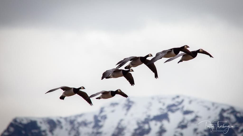 Barnacle goose/   Branta leucopsis /  Kvitkinngås