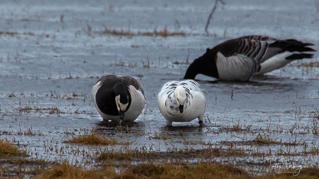 Barnacle goose/   Branta leucopsis /  Hvitkinngås