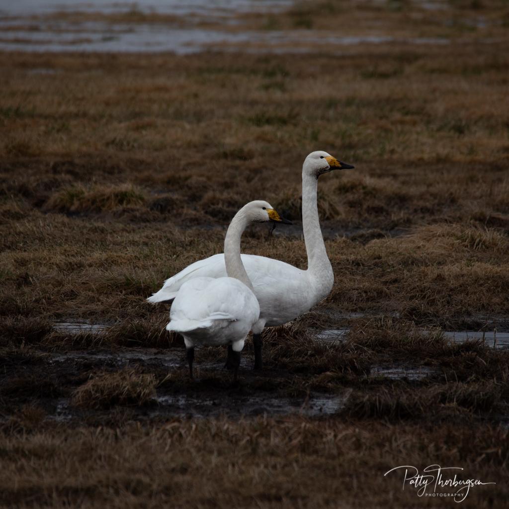 Whooper swan/   Cygnus cygnus /  Sangsvane