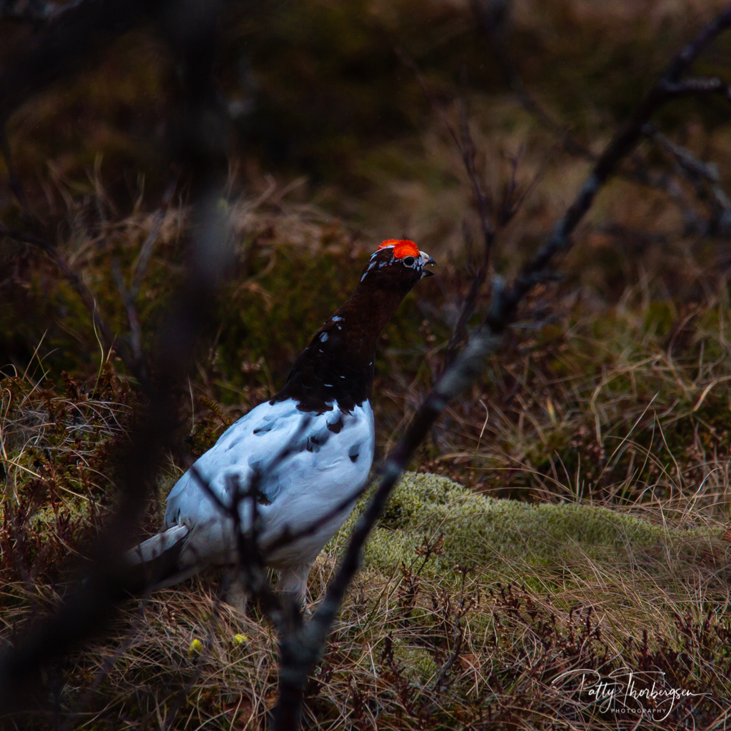 Willow ptarmigan /Willow Grouse/ Lagopus lagopus/  Lirype  /skogsrype
