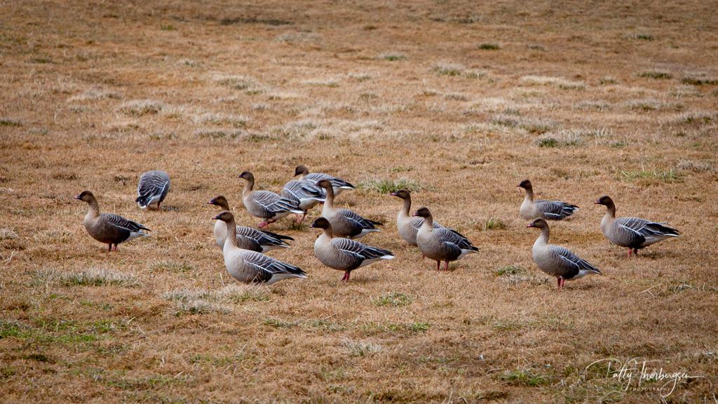 Pink-footed goose/   Anser brachyrhynchus /  Kortnebbgås