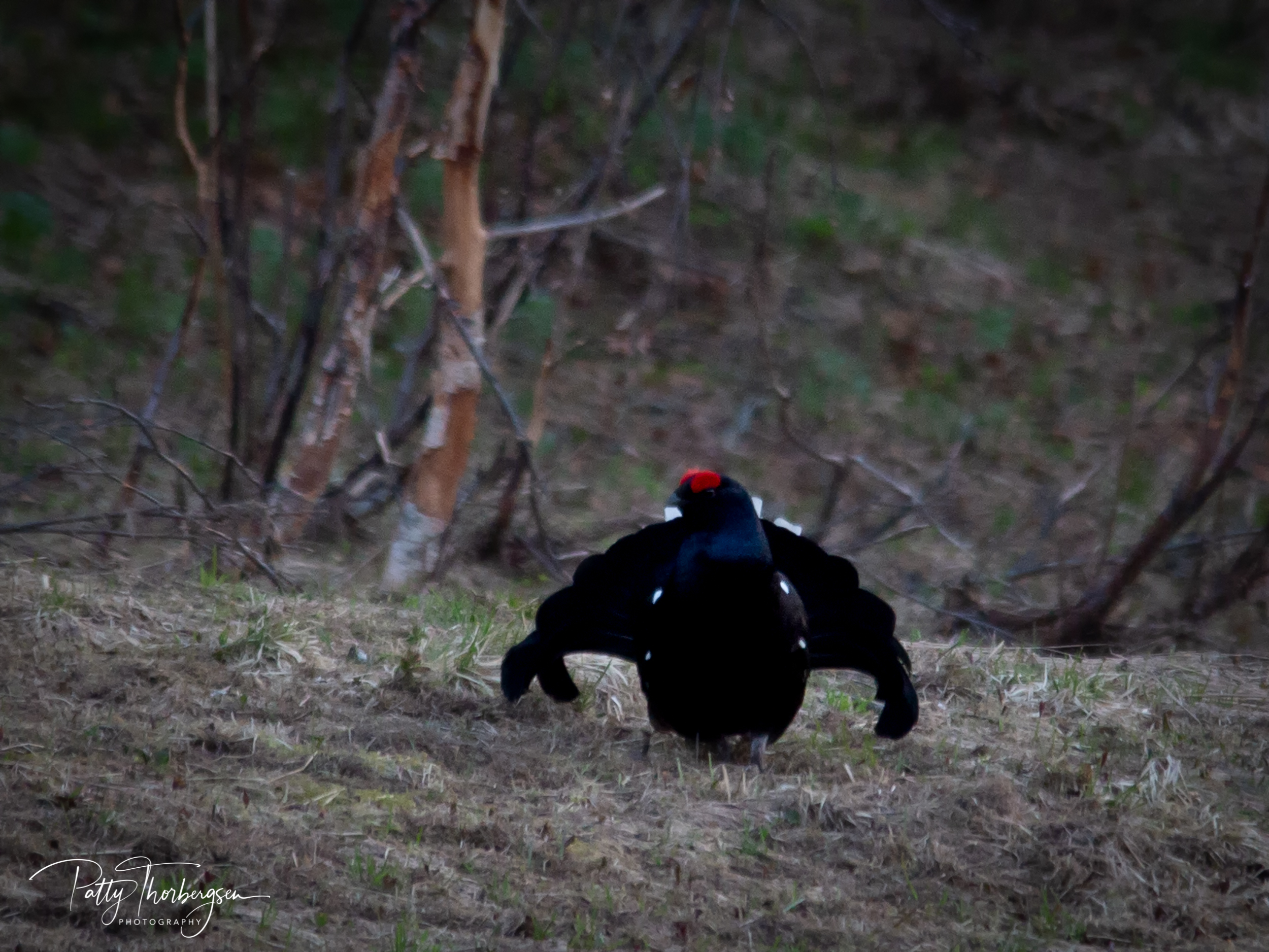 orrhøne © Patty Thorbergsen--3.jpg