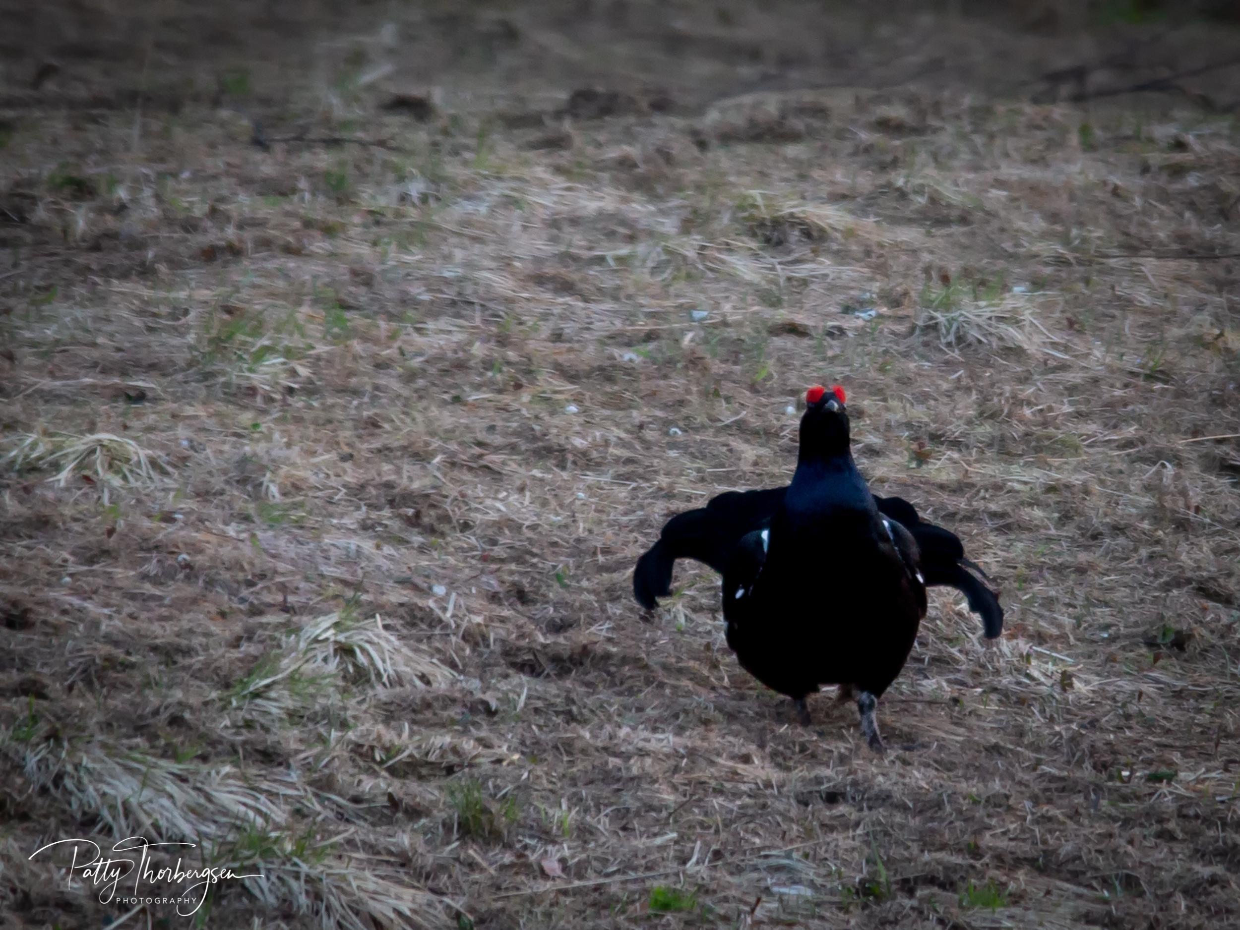 orrhøne © Patty Thorbergsen--8.jpg
