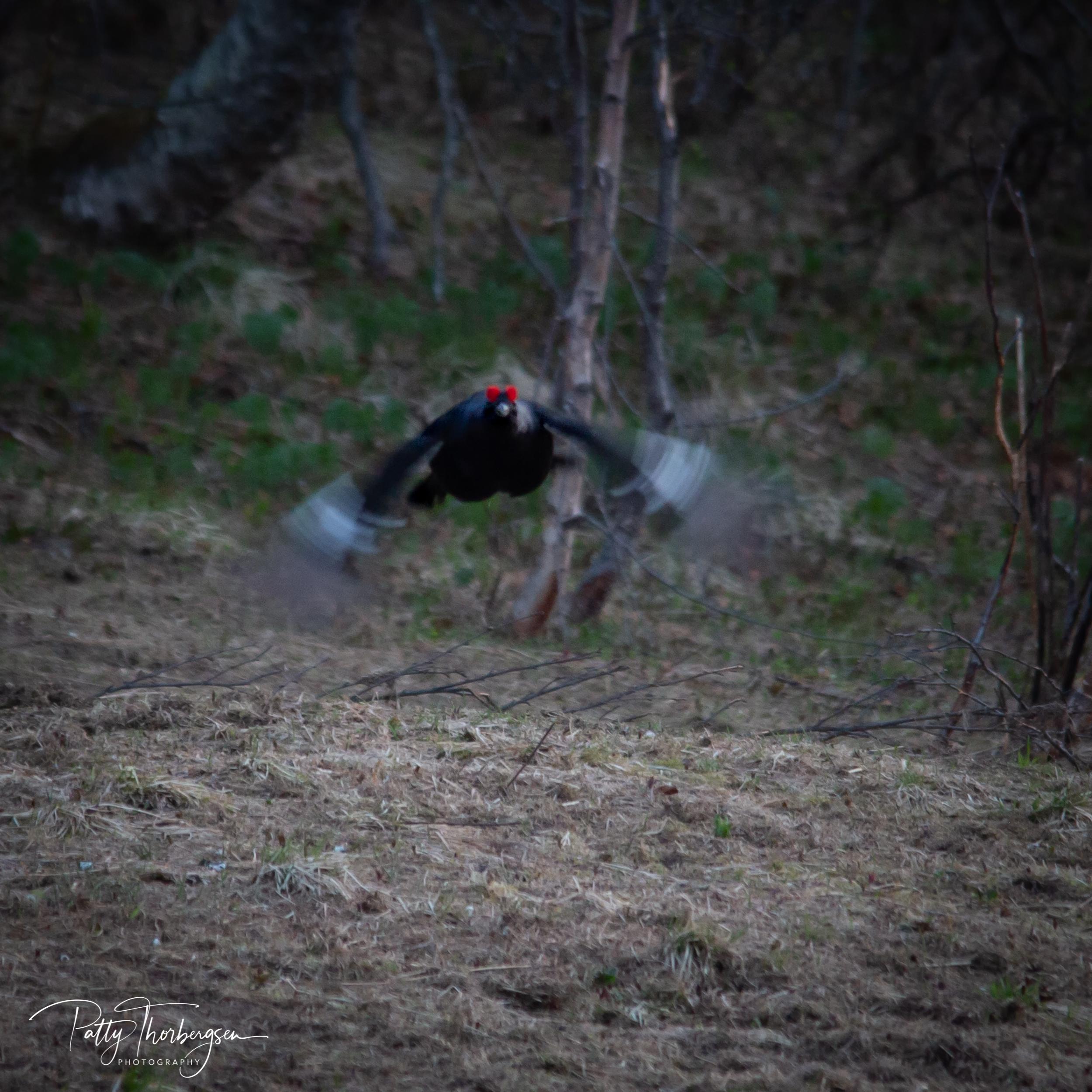 orrhøne © Patty Thorbergsen--9.jpg