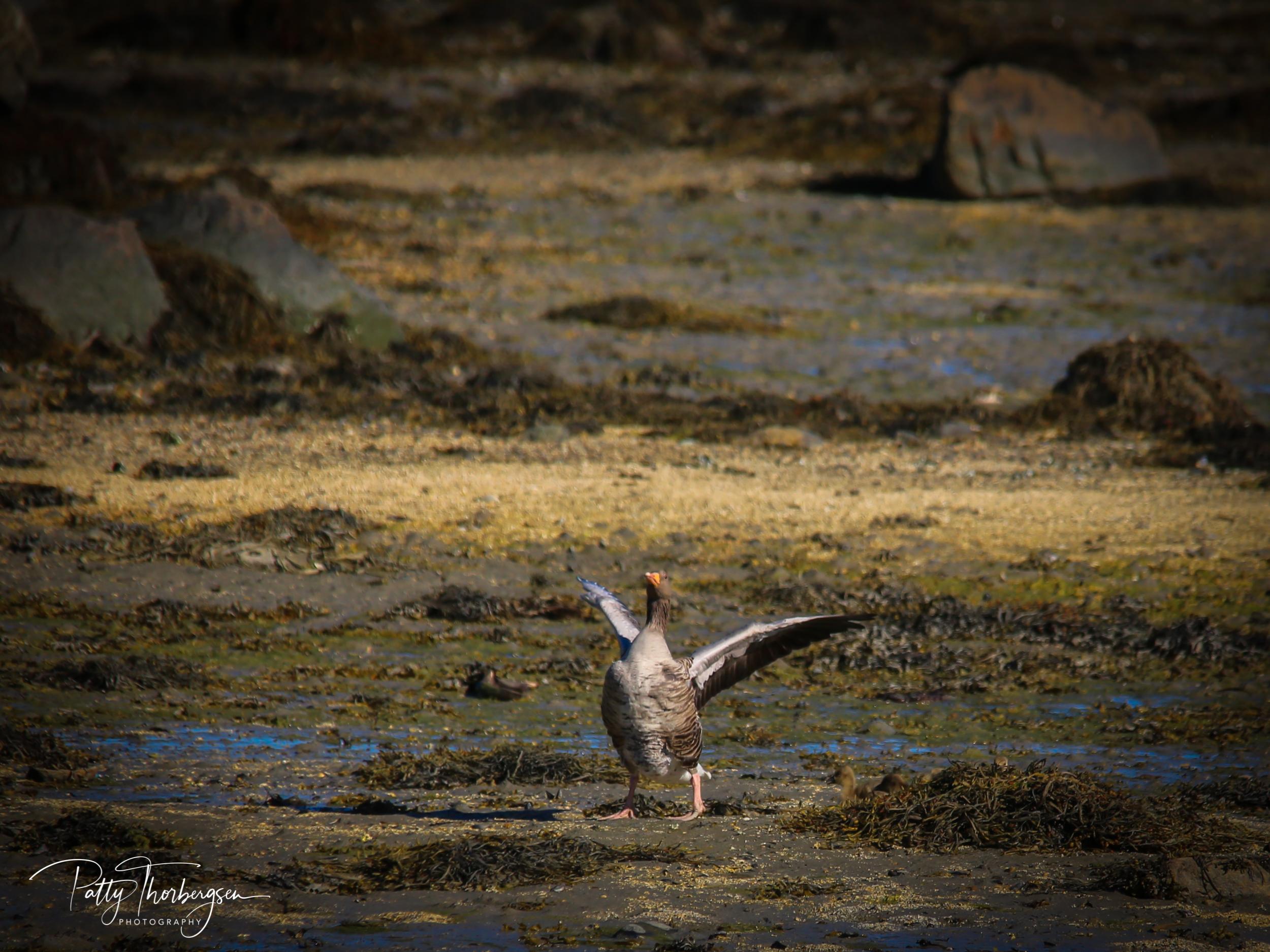 grågås © Patty Thorbergsen-3523.jpg