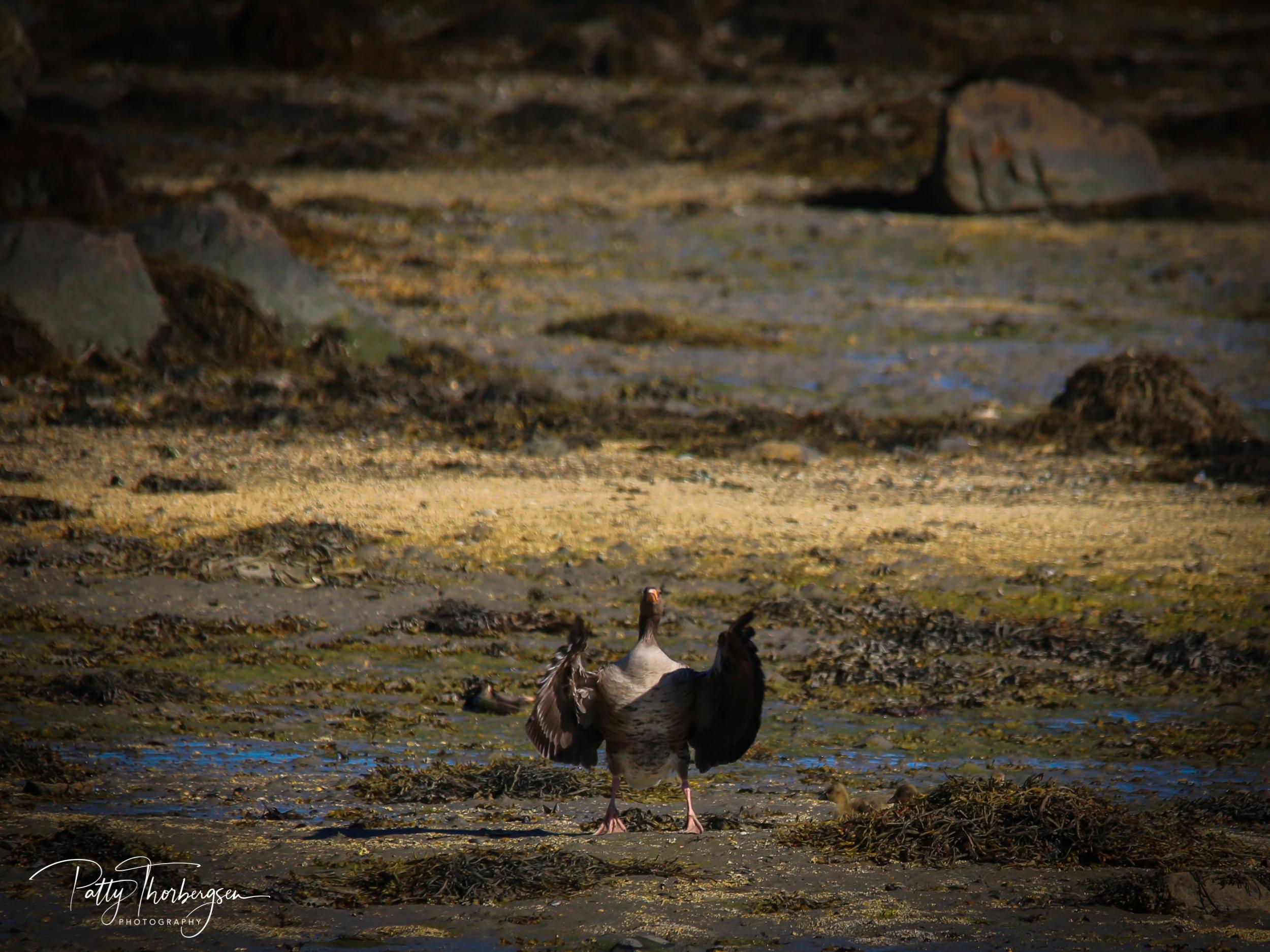 grågås © Patty Thorbergsen-3524.jpg