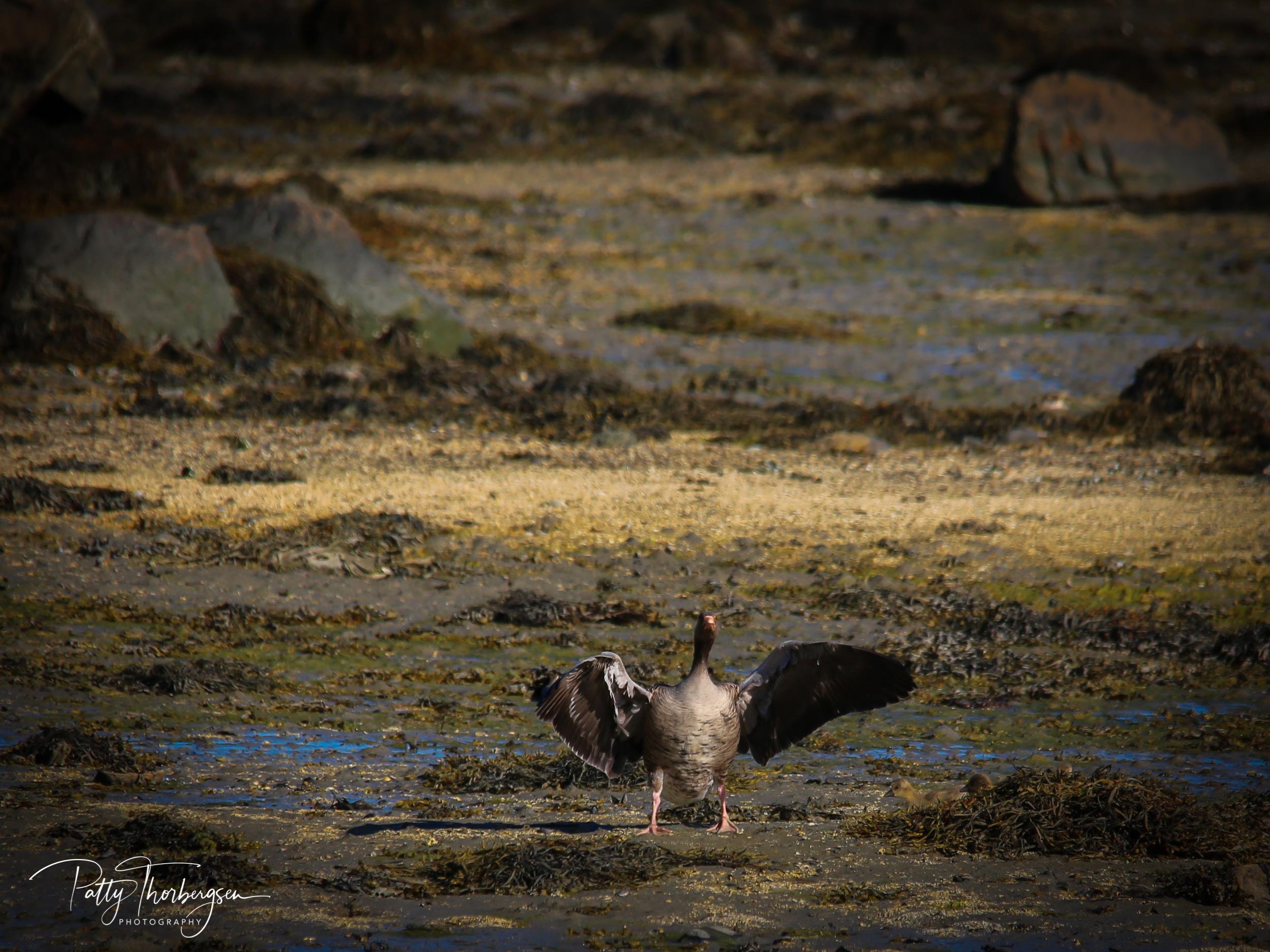 grågås © Patty Thorbergsen-3525.jpg