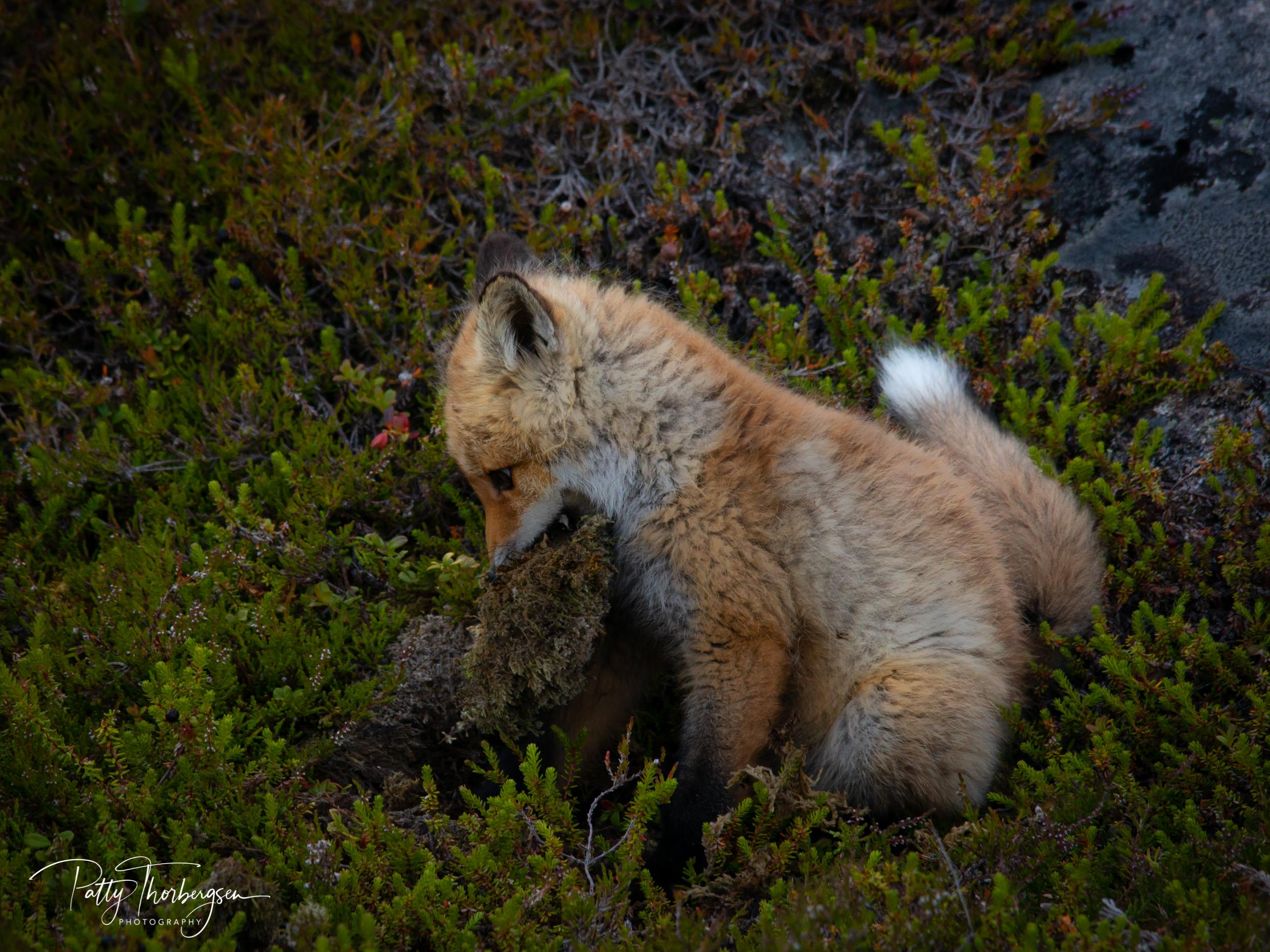rødrev © Patty Thorbergsen-8656.jpg