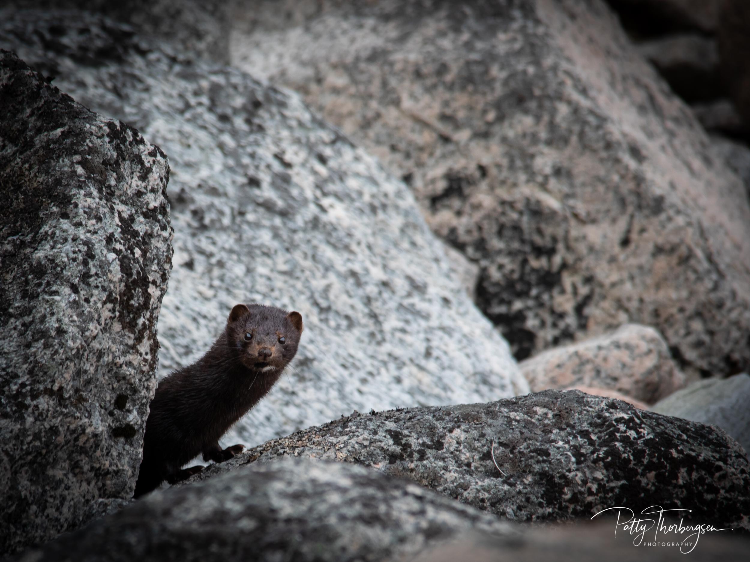 mink © Patty Thorbergsen-8863.jpg