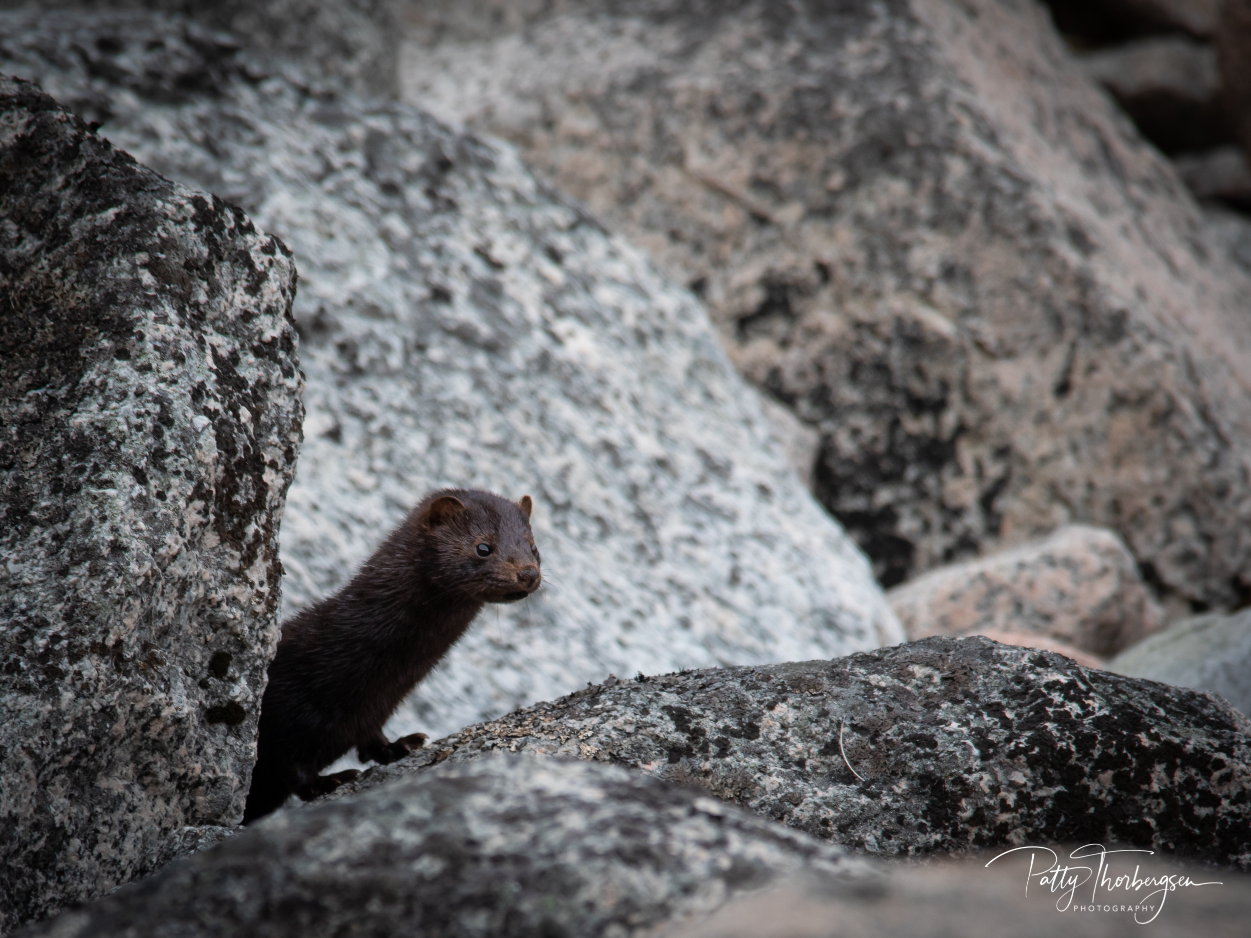mink © Patty Thorbergsen-8860.jpg