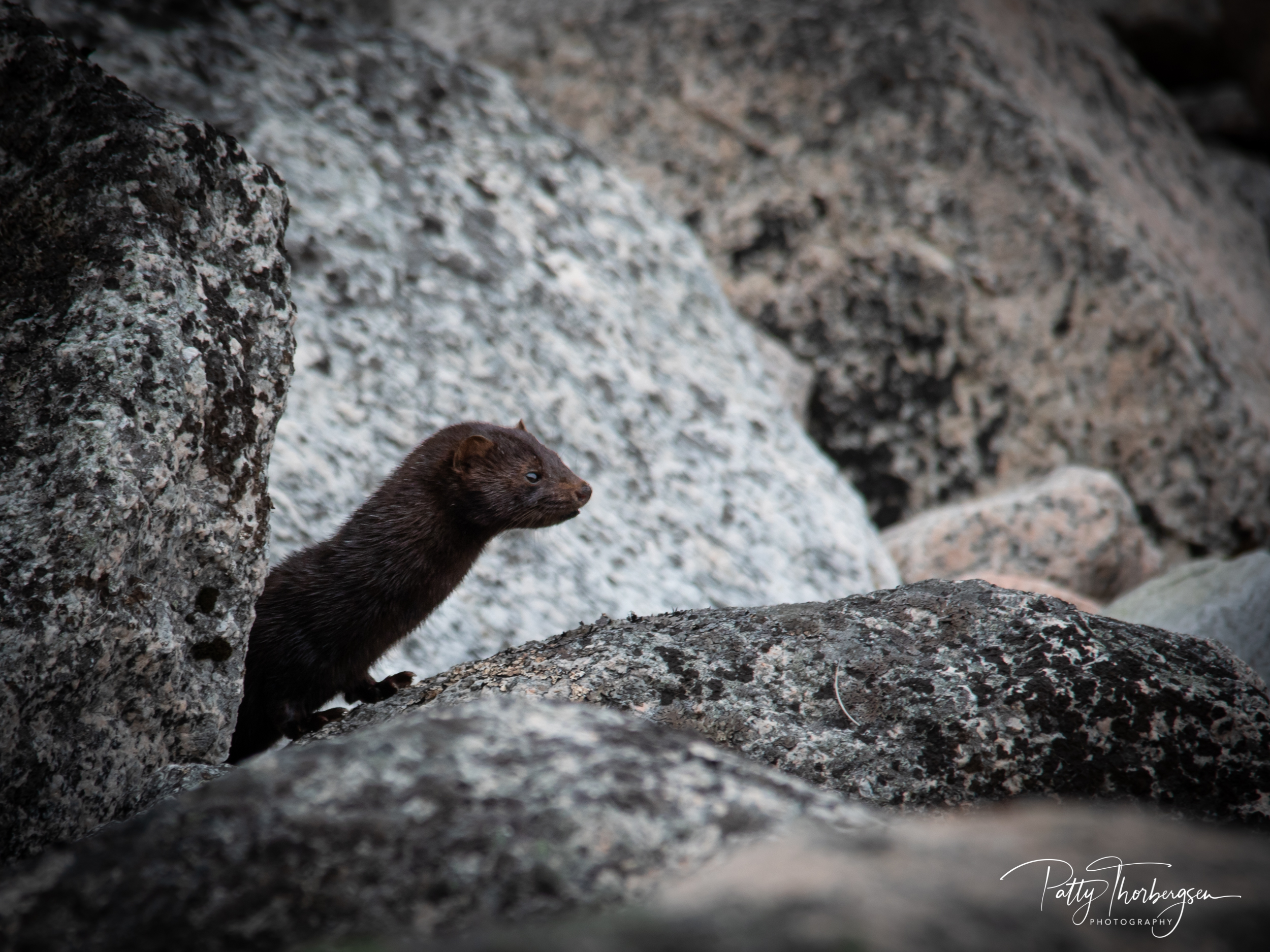 mink © Patty Thorbergsen-8864.jpg