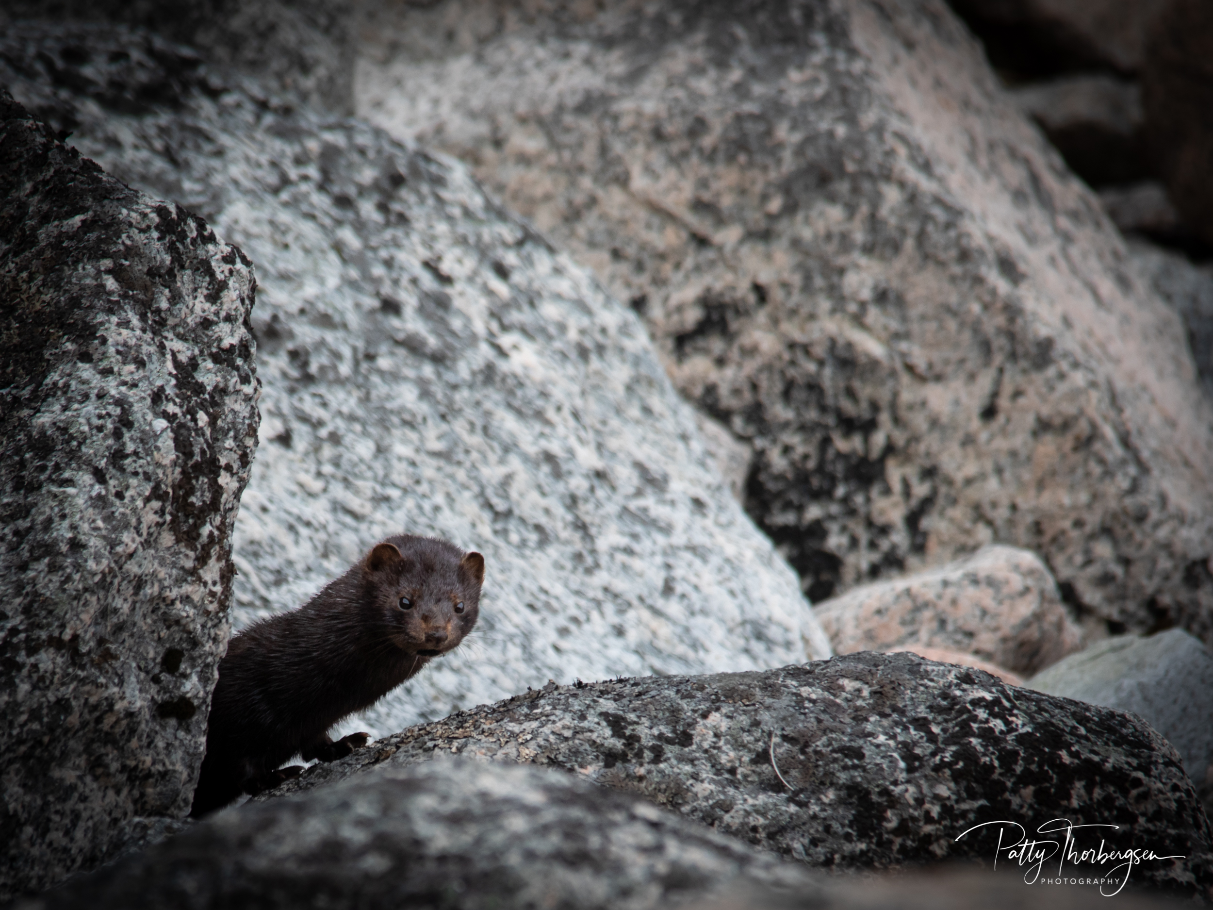 mink © Patty Thorbergsen-8867.jpg