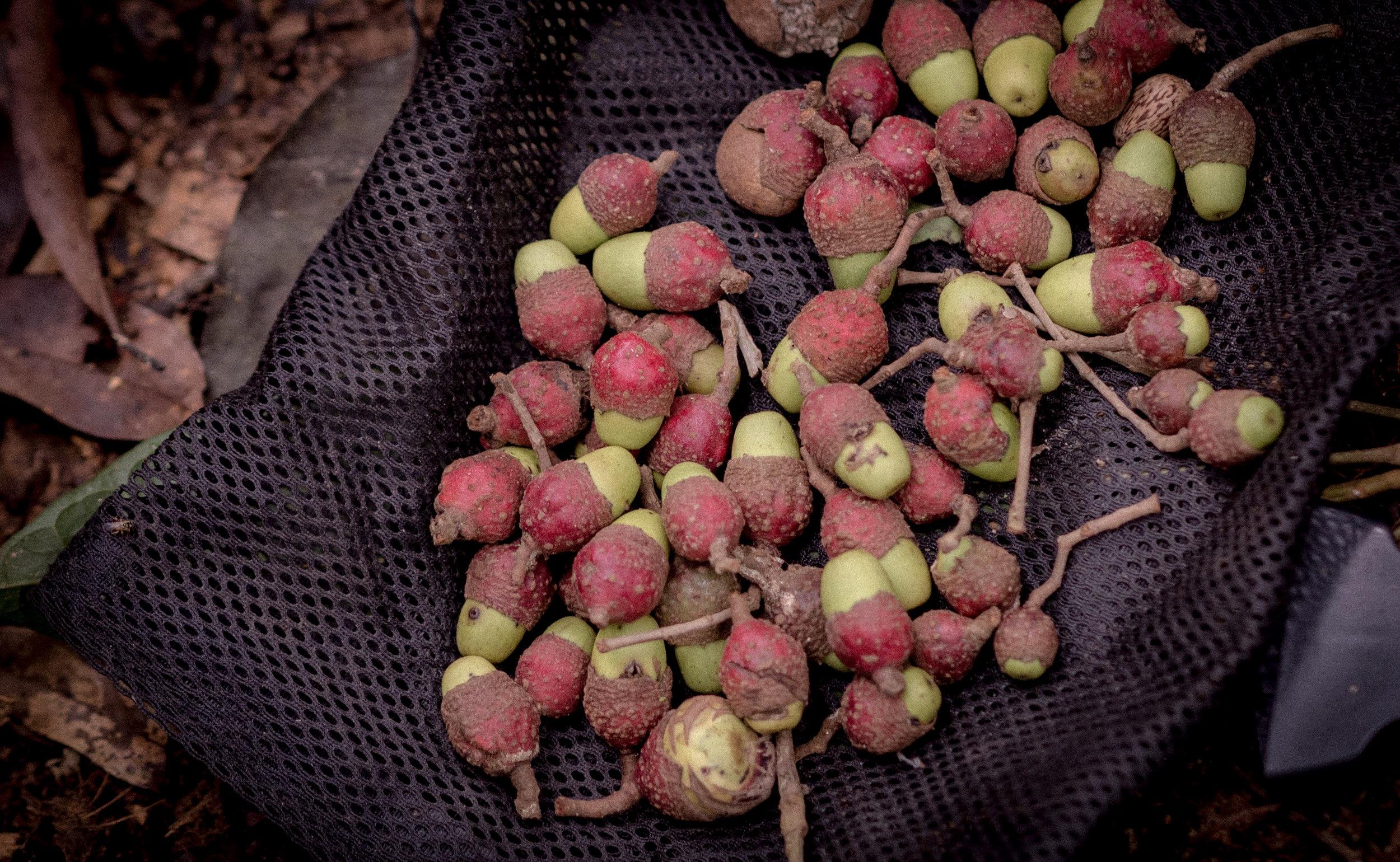 Canelón seeds
