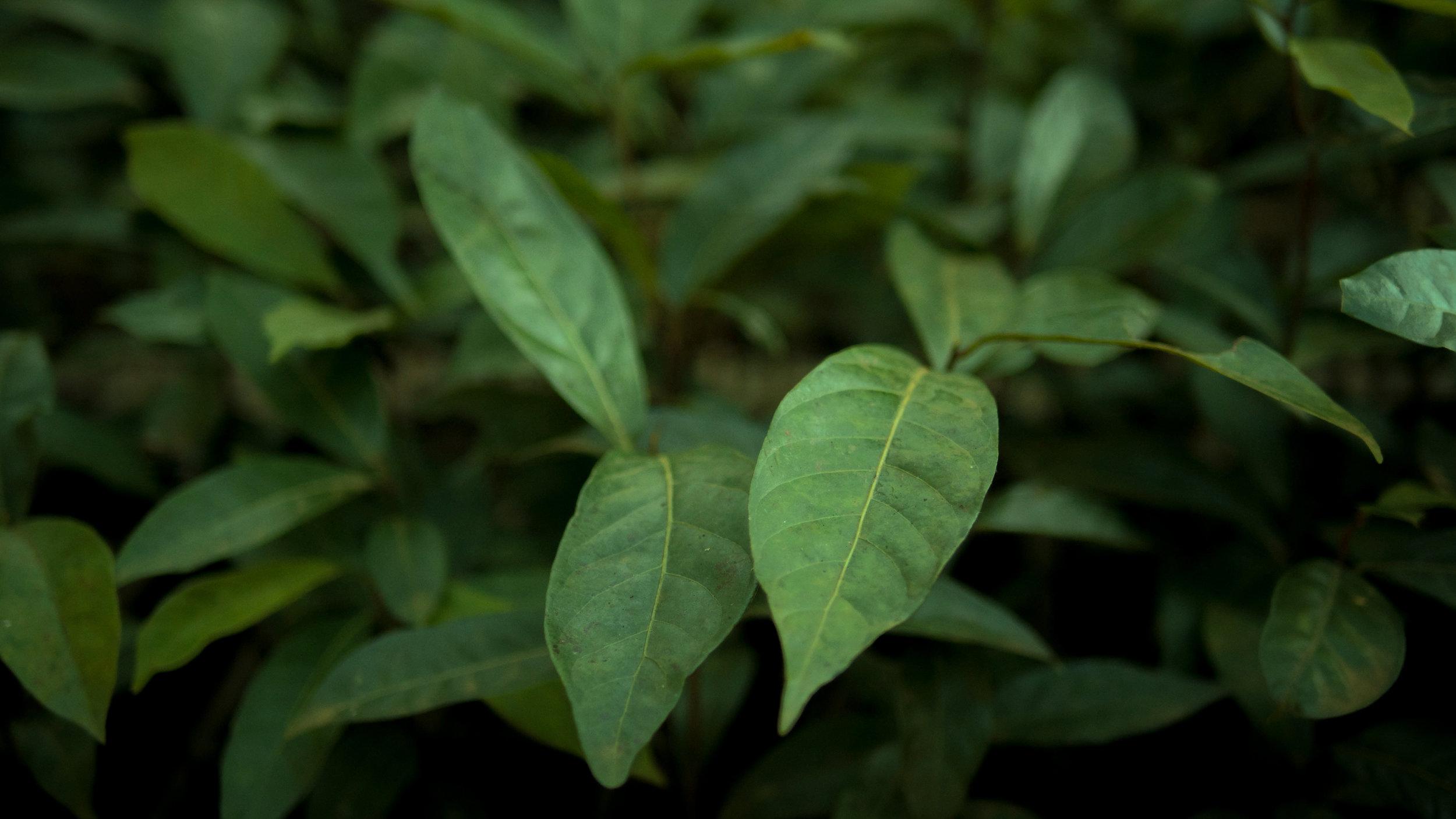 Moena leaves