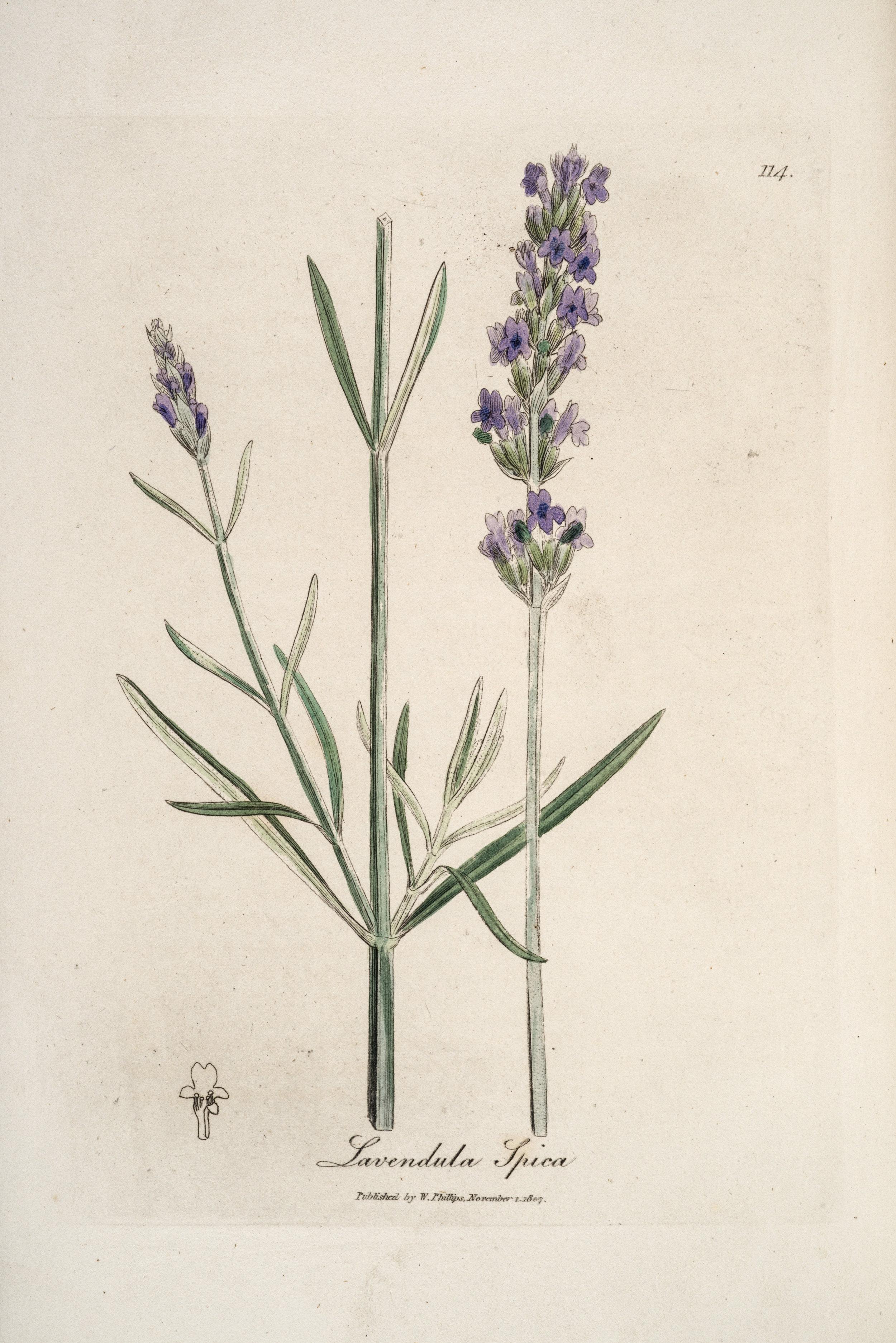 Lavender (Lavendula spica); Woodville's Medical Botany, 3rd Ed. (1832)