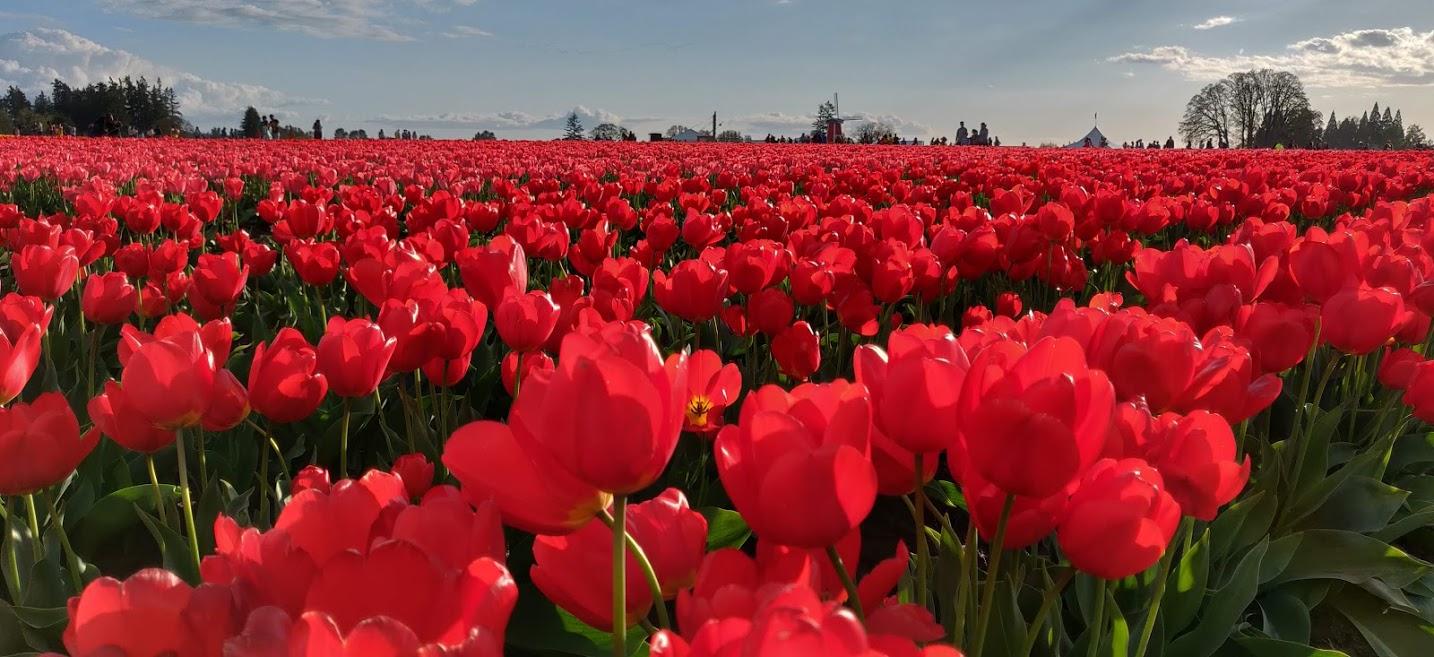 tulipanes rojos 2.jpg