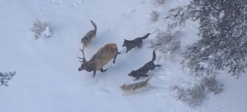 Above: Wolves hunt an elk.    Below: A beaver builds a dam.