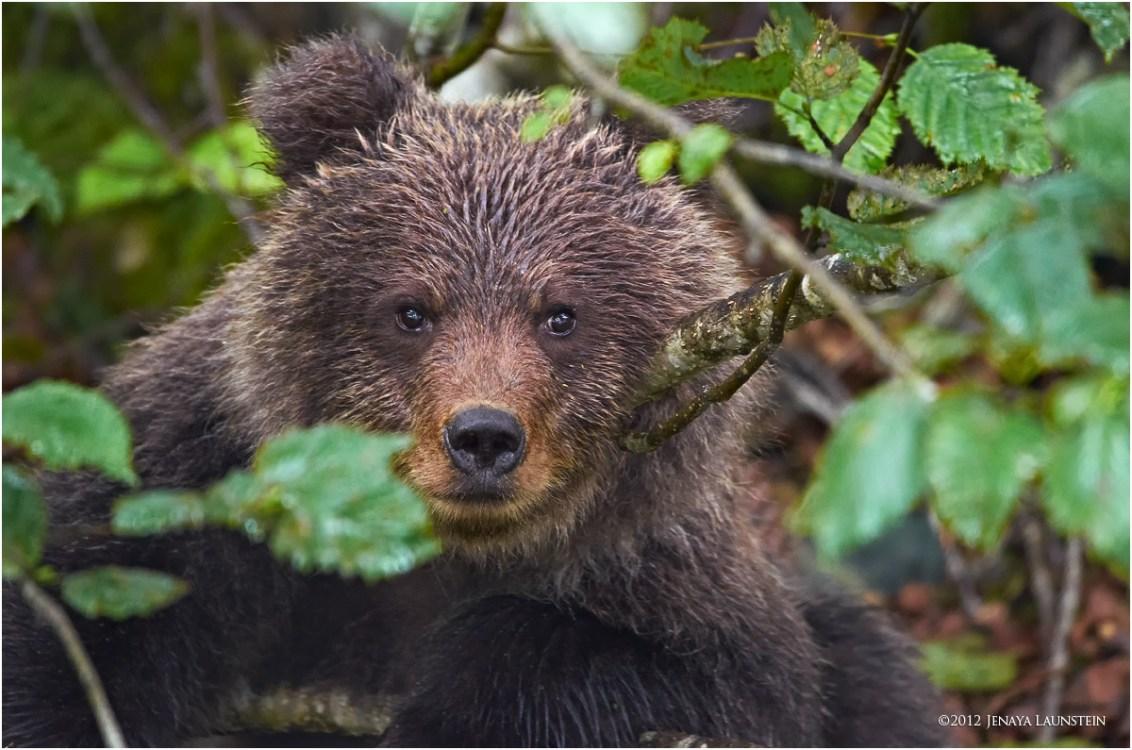 haines-cub-in-tree-1200.jpg