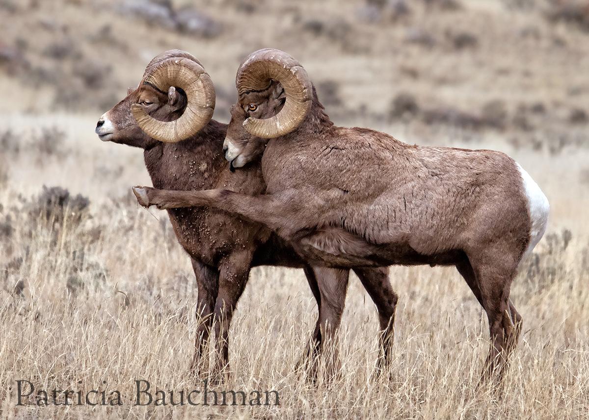 Bighorn Rams posturing.jpg