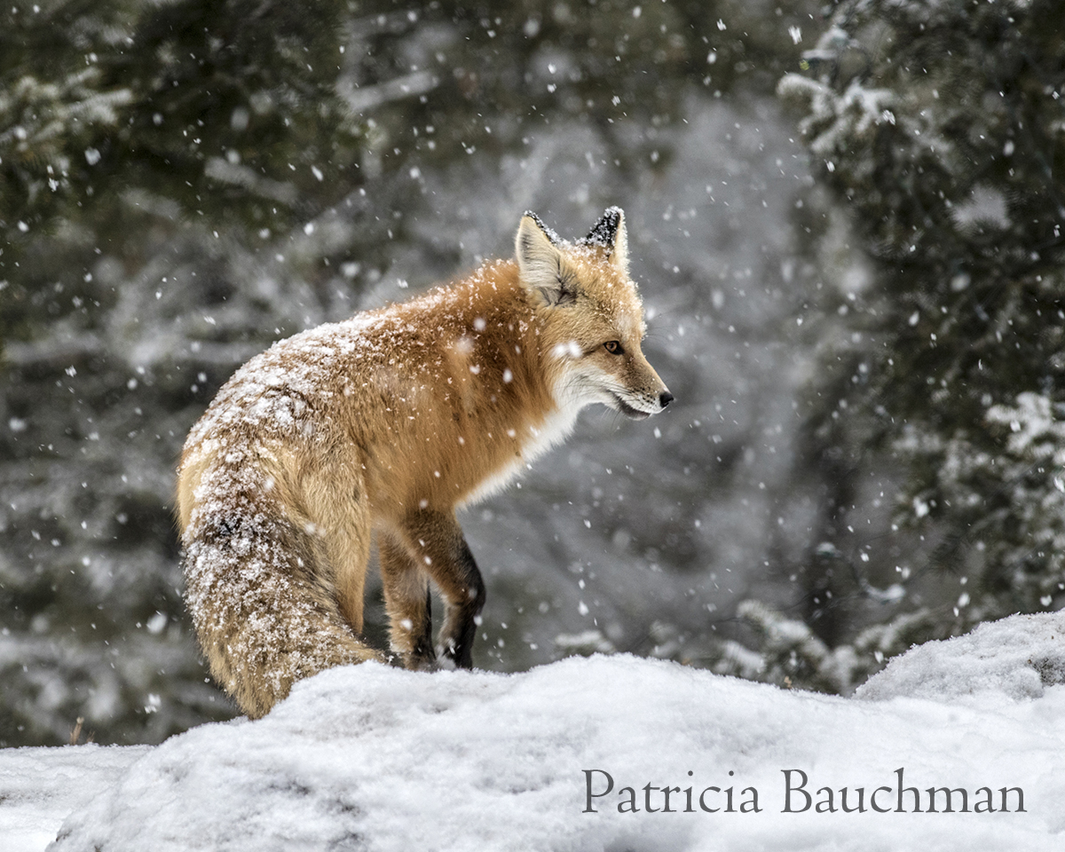 Red Fox in the snow.jpg